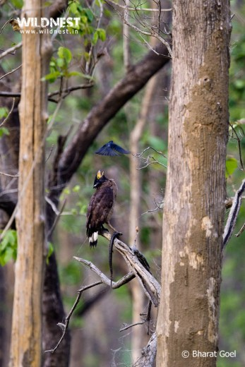 serpant eagle at dudhwa national park