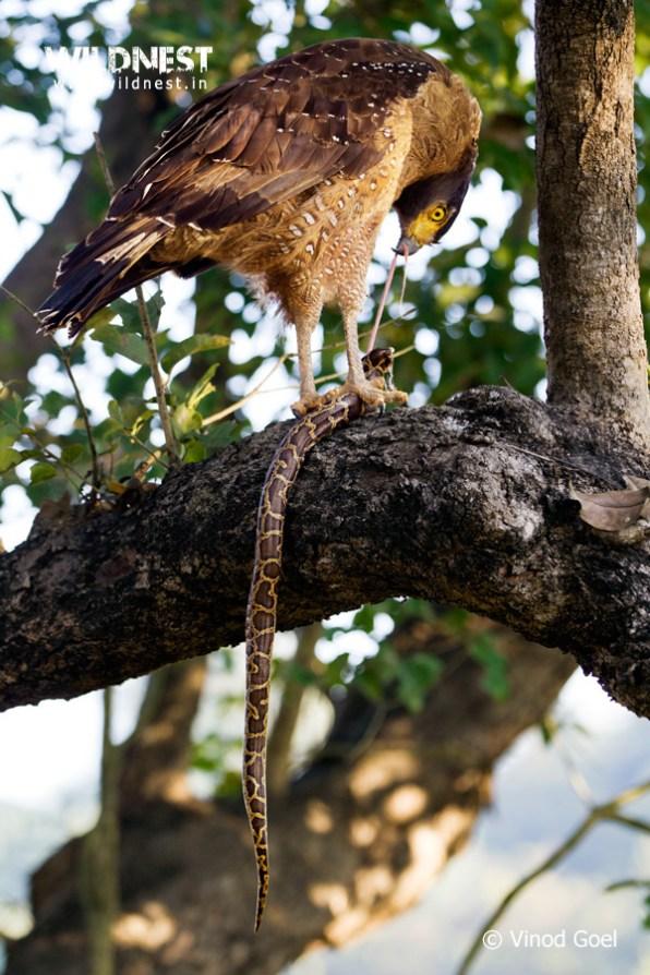 Serpant eagle eating python at gir national park