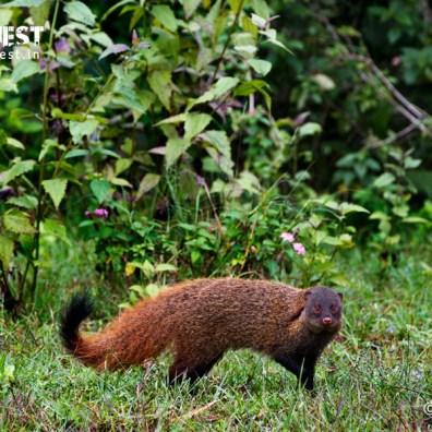 strip necked mongoose at bandipur national park