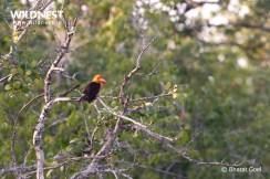 brown winged kingfisher at sundarbans tiger reserve