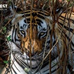 tiger behind bushes at kanha national park