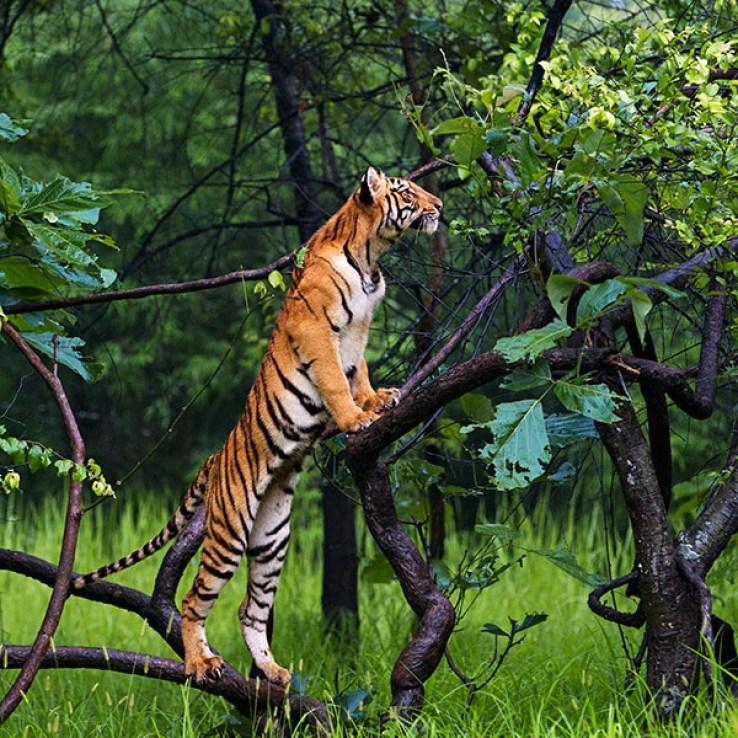 Tiger at Tadoba in Monsoons