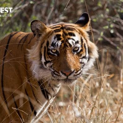 tiger photography at ranthambore national park