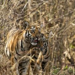 tiger mother with cubs at tadoba andhari tiger reserve