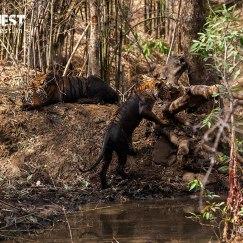 tiger taking mud bath at tadoba andhari tiger reserve