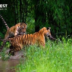 tiger cubs playing at tadoba andhari tiger reserve in monsoon