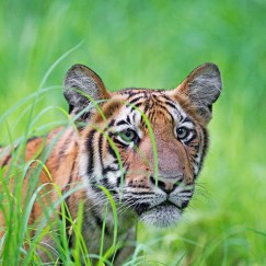 tiger photography at tadoba andhari tiger reserve in monsoon