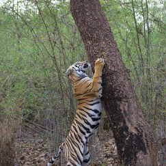 tiger scratching tree at tadoba andhari tiger reserve