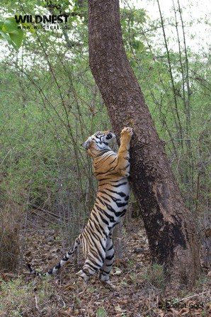 tiger scratching tree at tadoba andhari tiger reserve