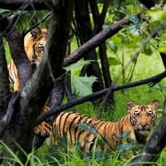 tiger cubs staring at at tadoba andhari tiger reserve in Monsoons