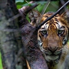 tiger staring at tadoba andhari tiger reserve in Monsoons