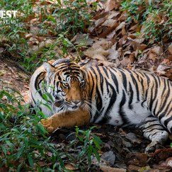 female tiger relaxing at kanha national park