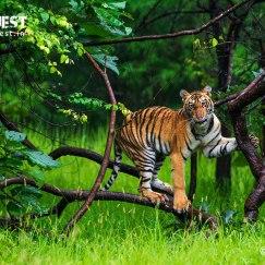 Tiger climbing tree at tadoba andhari tiger reserve in Monsoons