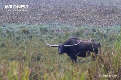 wild buffalow at Kaziranga National Park