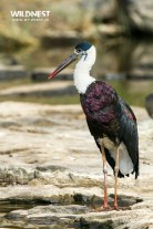 wooley necked stork at ranthambore national park