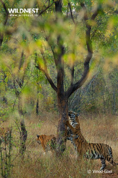 tiger cubs at tadoba vinod goel