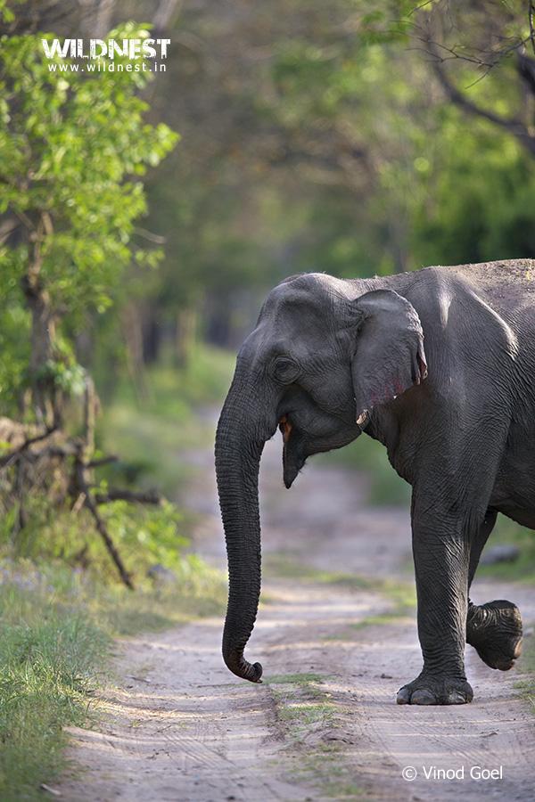 Elephant at Rajaji Vinod Goel Wildlife Photographer