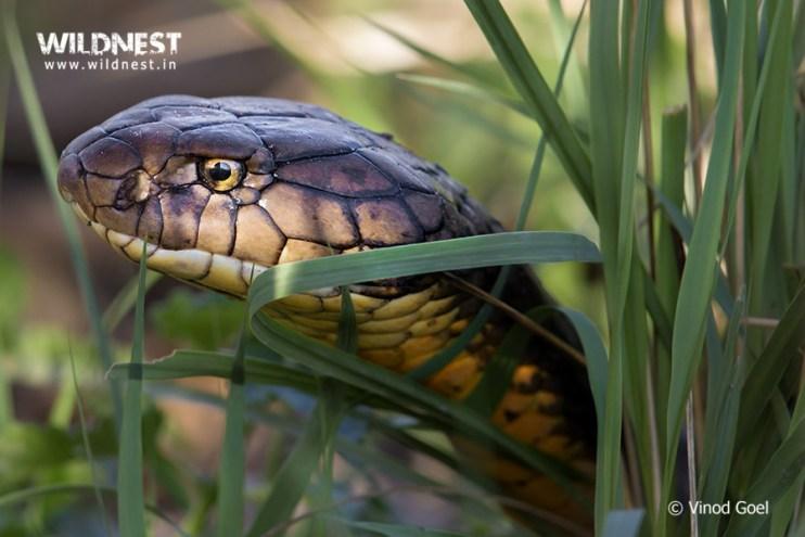 king kobra at Rajaji Vinod Goel Wildlife Photographer