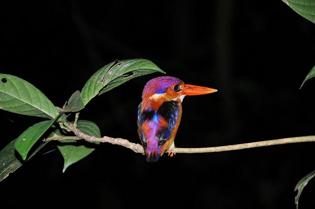 dwarf-kingfisher