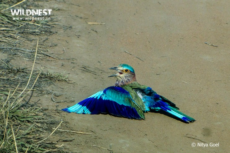 indian-roller-tadoba-nitya