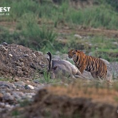 Tiger with kill at Rajaji National Park