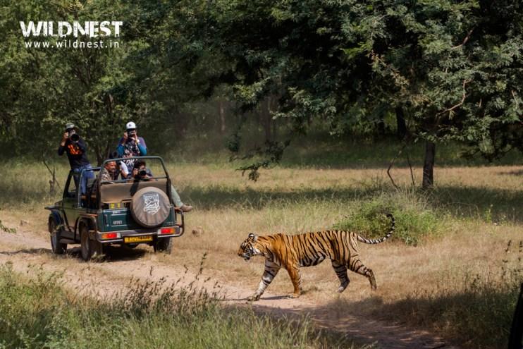 tiger safari ranthambore national park indi