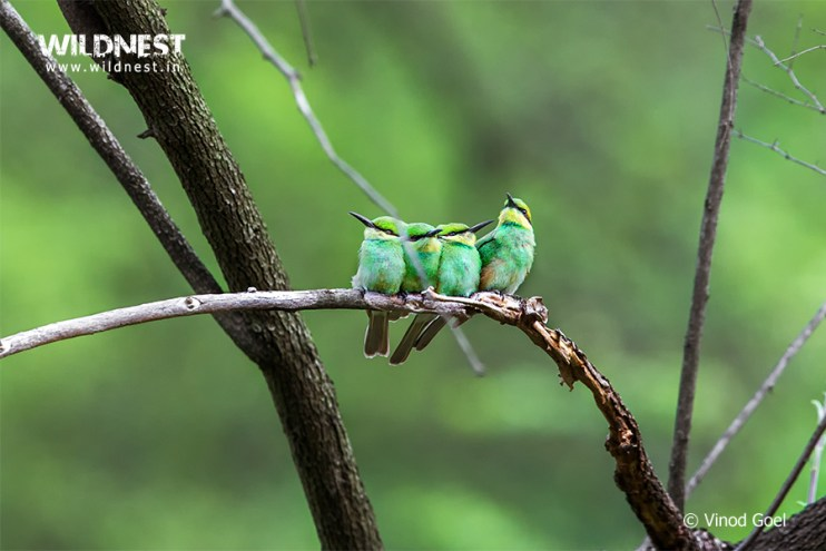 Bee Eater family at Sariska Tiger Reserve
