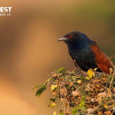Kokal Bird at Bera
