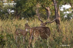 Spotted Deer with Baby at Panna National Park