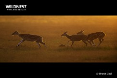 Deer running at Corbett Tiger Reserve