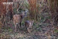 Deer with Cub at Kaziranga National Park