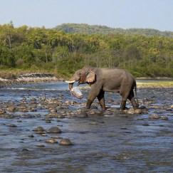 Elephant walking in river at Corbett Tiger Reserve