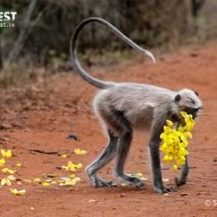 Langoor Monkey at Tadoba Andhari Tiger Reserve