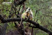Langoor Monkey with baby at Sariska Tiger Reserve