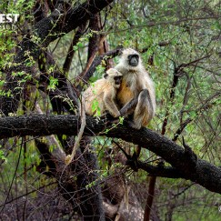 Langoor Monkey with baby at Sariska Tiger Reserve