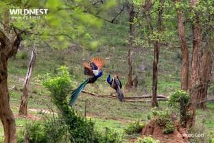 Peacock fighting at Sariska Tiger Reserve