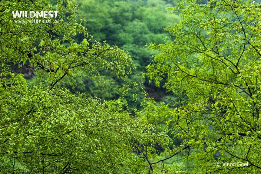 Sariska Tiger Reserve during monsoons