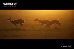 Spotted Deer running at Corbett Tiger Reserve