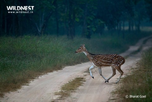 Spotted in morning mist at Panna National Park