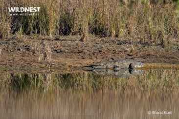 Crocodile taking sunbathe at Tadoba Andhari TIger Reserve