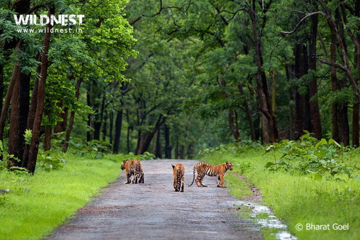 Best Place to see tigers in India