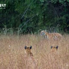 Tigers in habitat at Tadoba Andhari Tiger Reserve