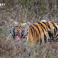 Tiger Shouting at Tadoba Andhari Tiger Reserve