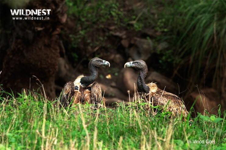 Vulture at Sariska Tiger Reserve