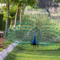 Peacock in Sunder Nursery Nizamuddin Delhi