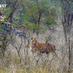tiger at sariska national park