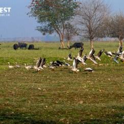 BarheadedGeese at Okhla Bird Sanctuary
