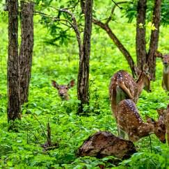 spotted deer group at tadoba