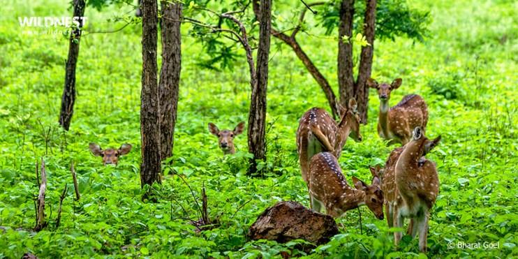 Tadoba Trip Report - spotted deer group at tadoba