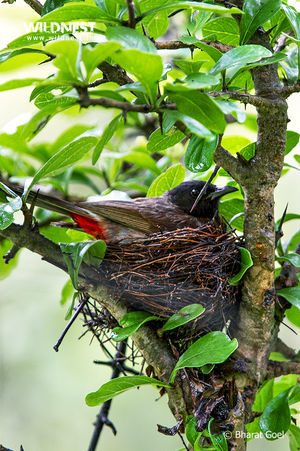 Tadoba Trip Report - Red vented bulbul - tadoba